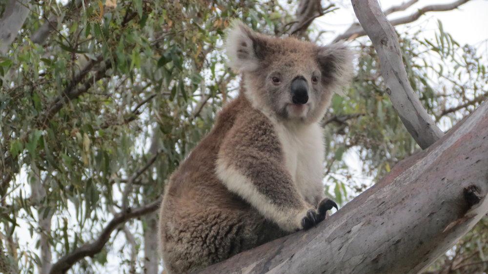 Raymond Island's koalas were a big draw to the Gippsland Lakes area.