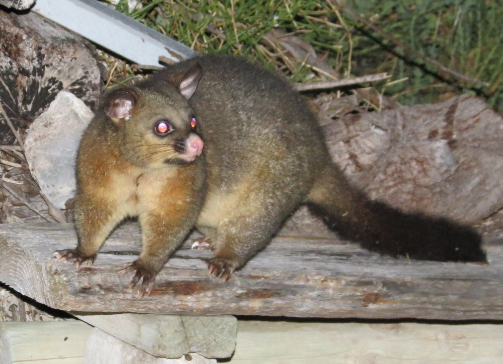 Brush-tailed possum