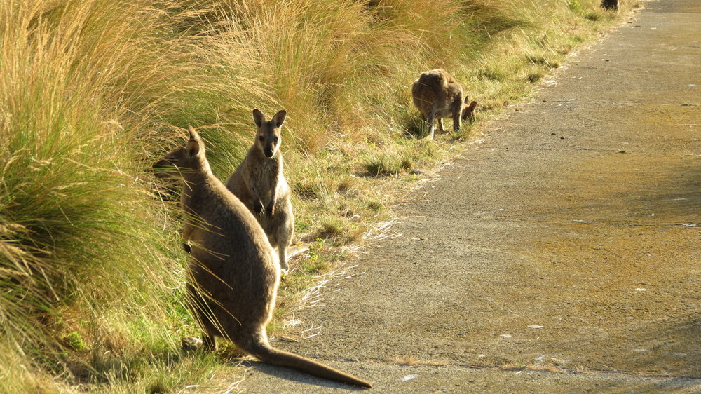 Wallabies everywhere!