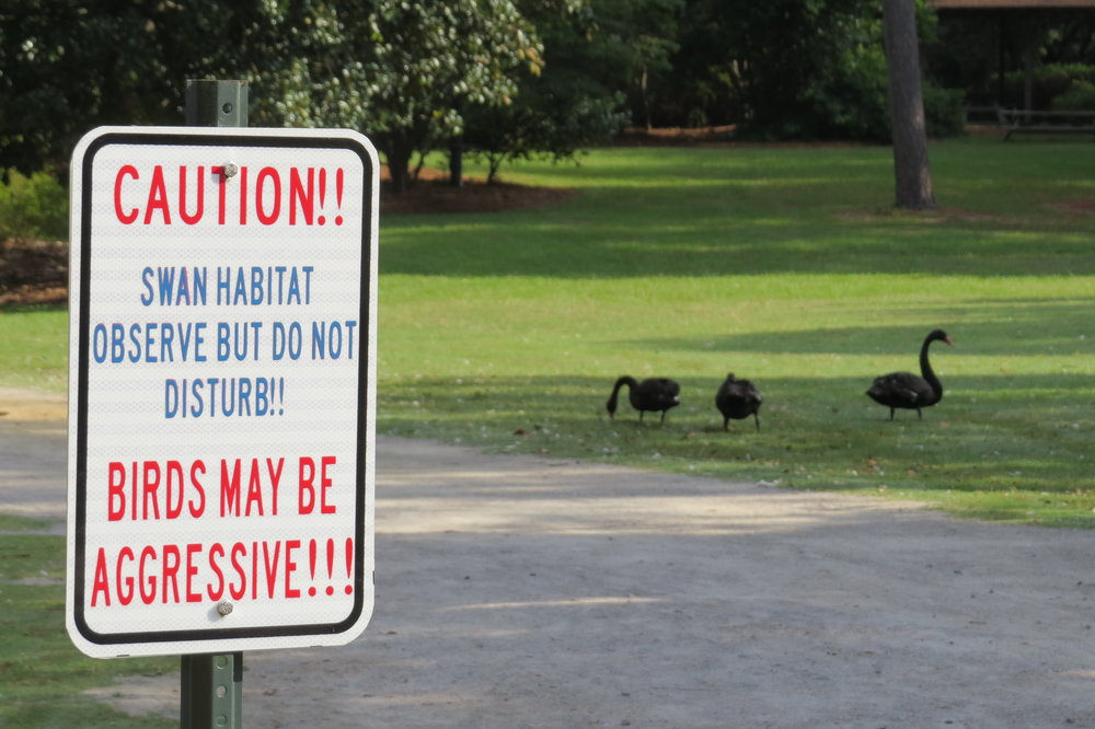 Watch out for vicious swans!  Swan Iris Lake in Sumter, SC