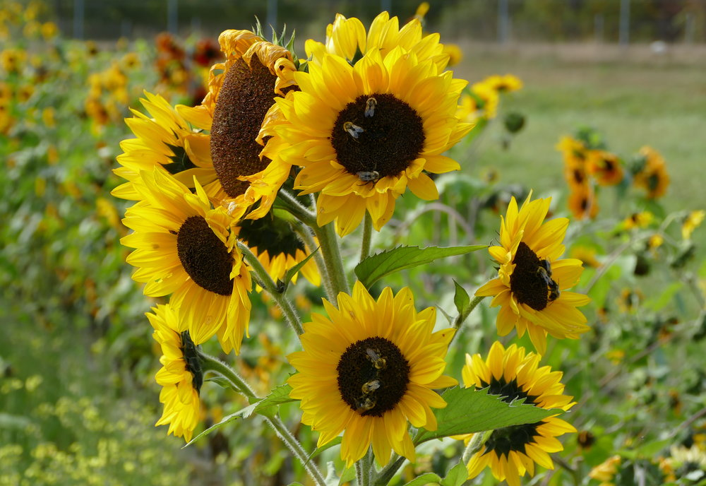 autumn_bees working overtime sunflowers.JPG