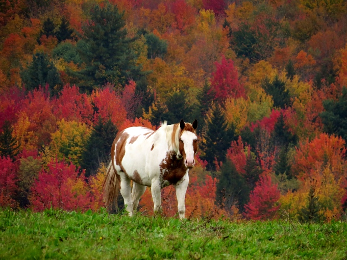 A pinto grazing midst a riot of brilliant foliage on a country road in Vermont.