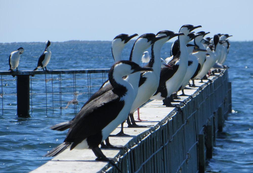 Black-faced cormorants line the rail