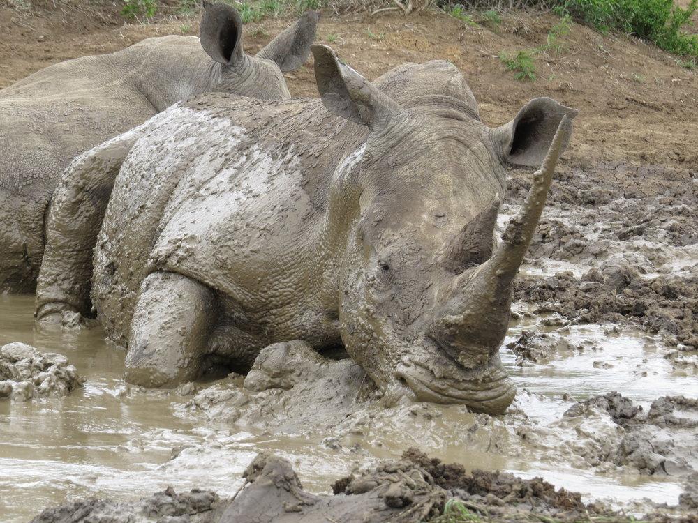 Rhinos wallowing in mud - IMfolozi