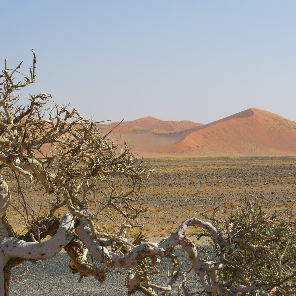Camelthorn tree and dunes