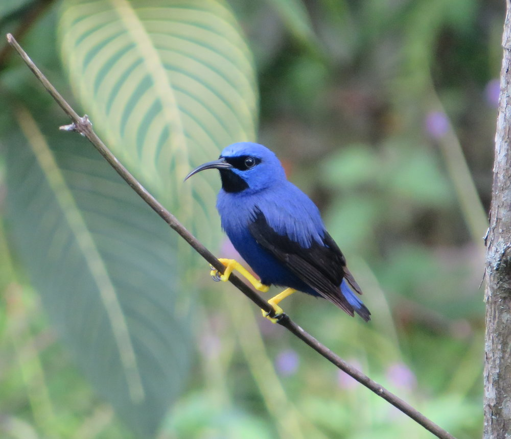 Purple honeycreeper at Asa Wright