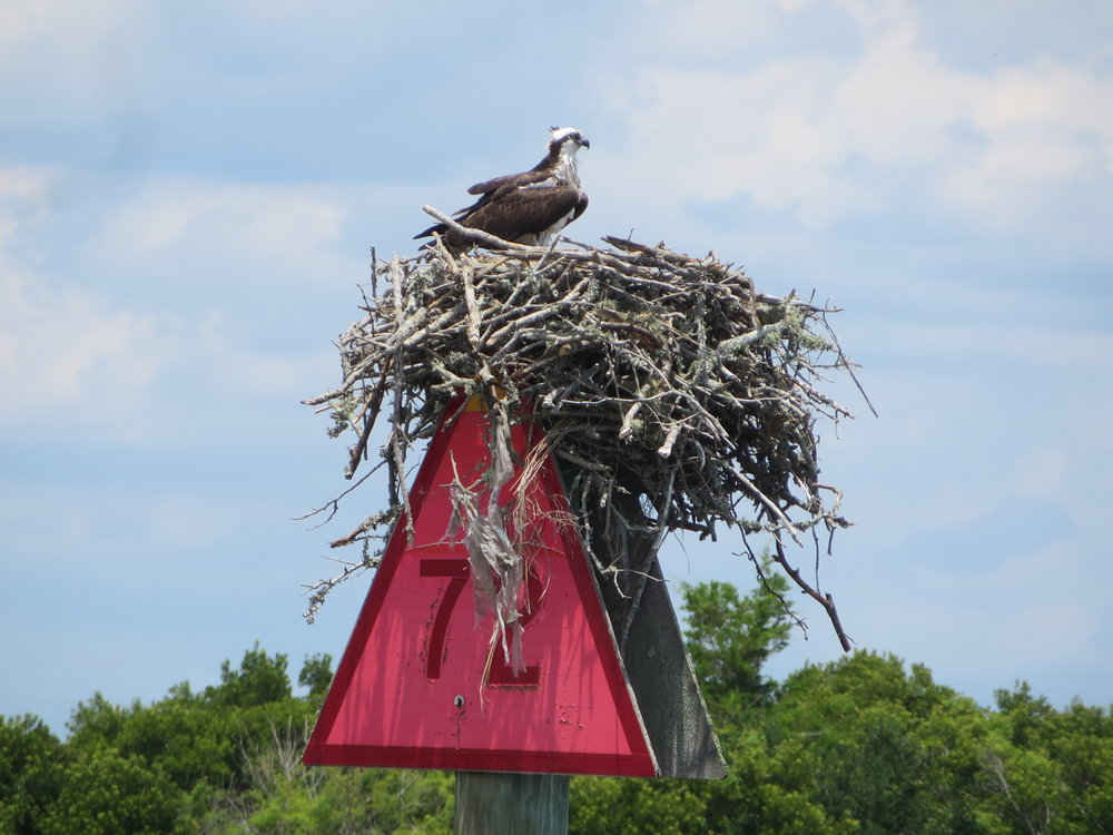 Ospreys nested on nearly every marker.