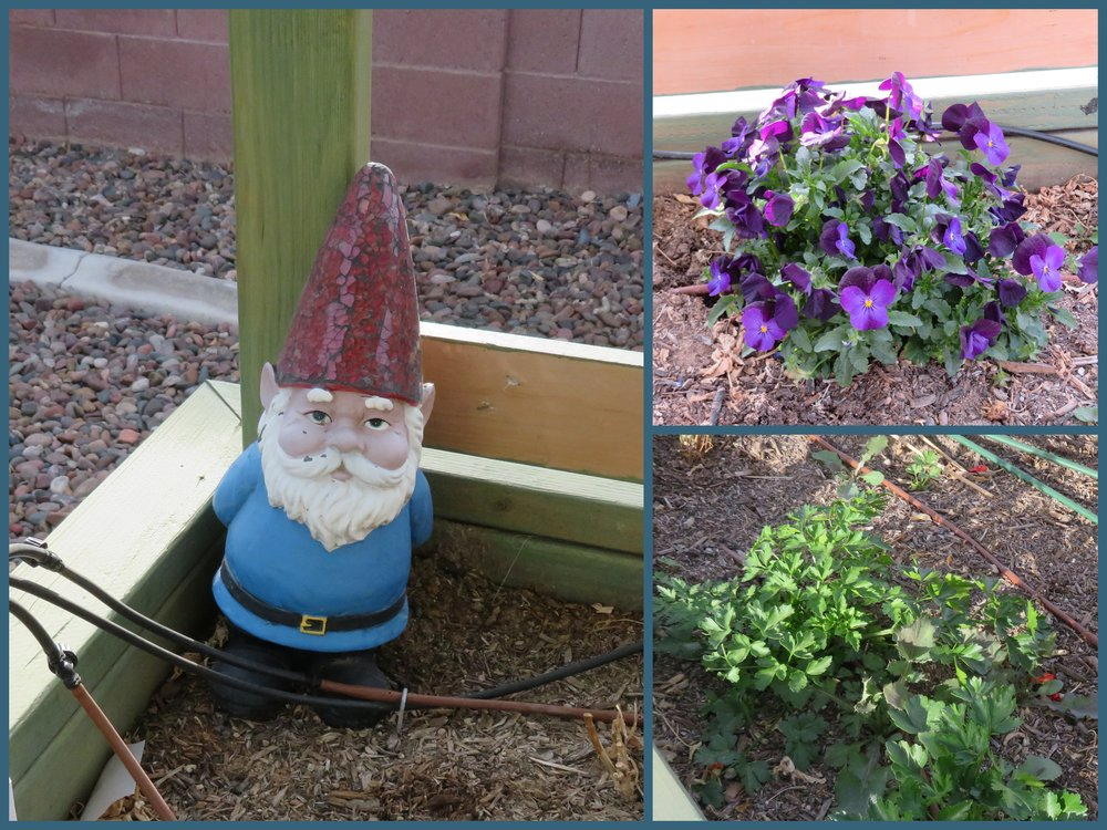 Remnants of last year's garden ... pansies, parsley and a weathered gnome.