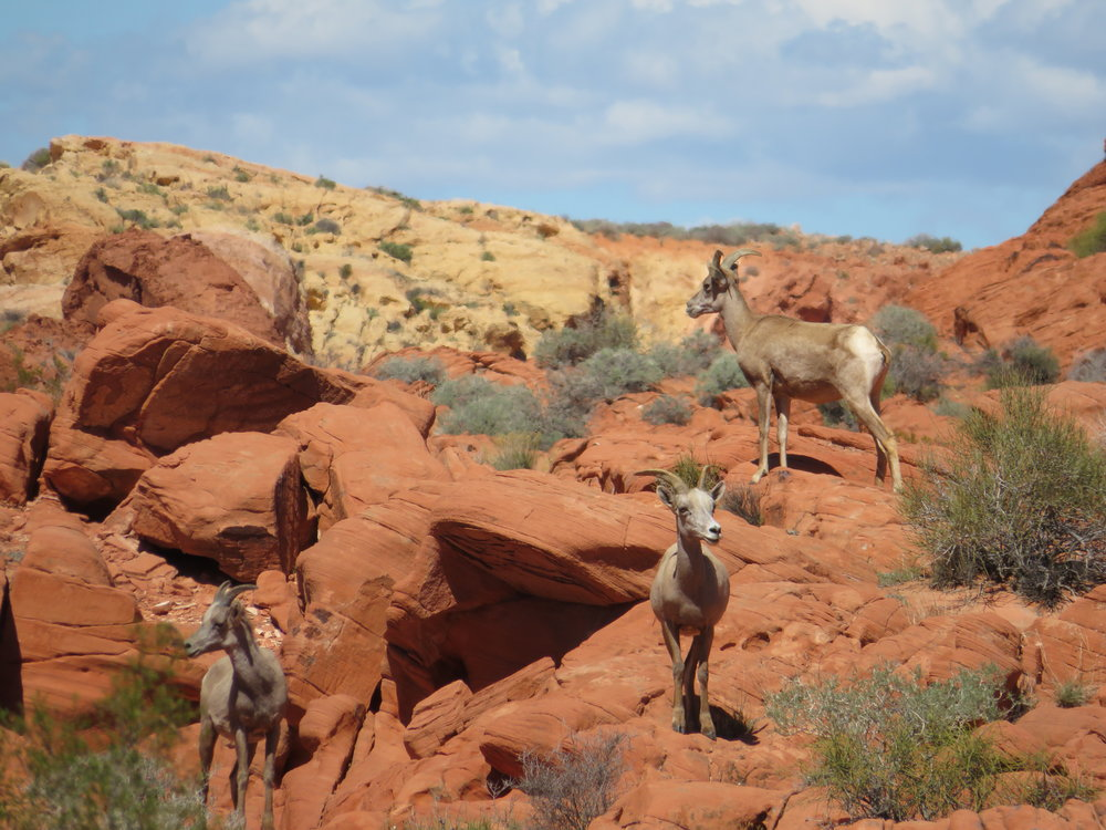 Our friends were hoping to see bighorn sheep at the park and they weren't disappointed.