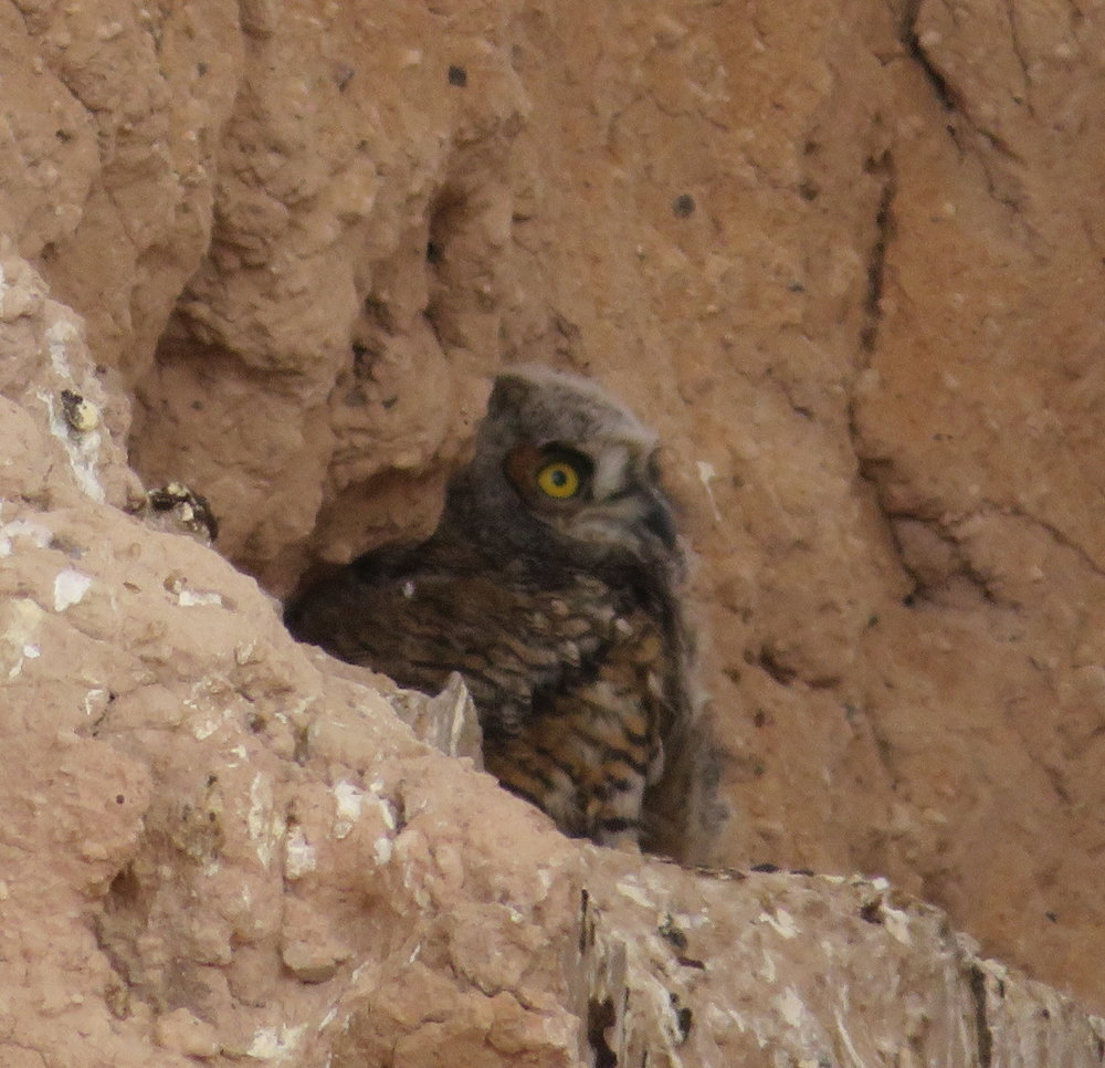 Great horned owl owlets were in residence at the Casa Grande ruins.