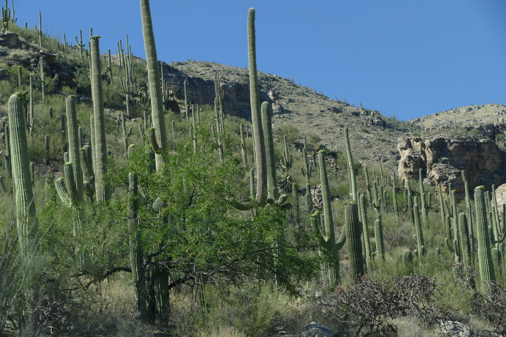 The saguaro-lined route from our campsite down the mountain to the park.
