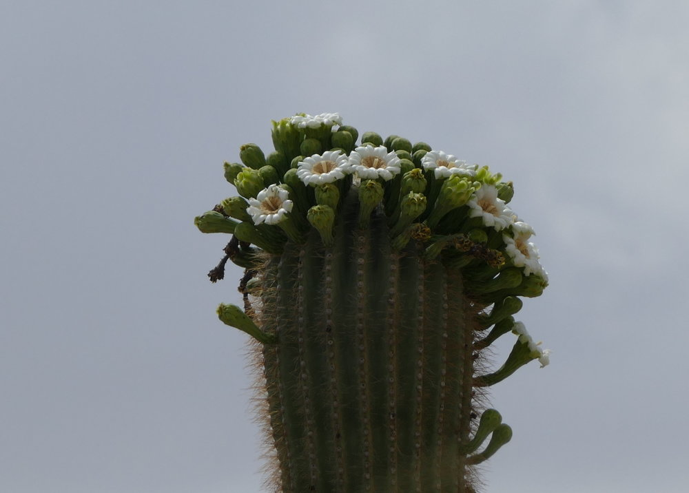 Arizona's state flower: the saguaro cactus flower