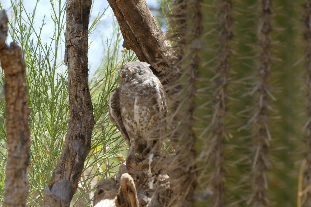 Elf owl - world's tiniest owl