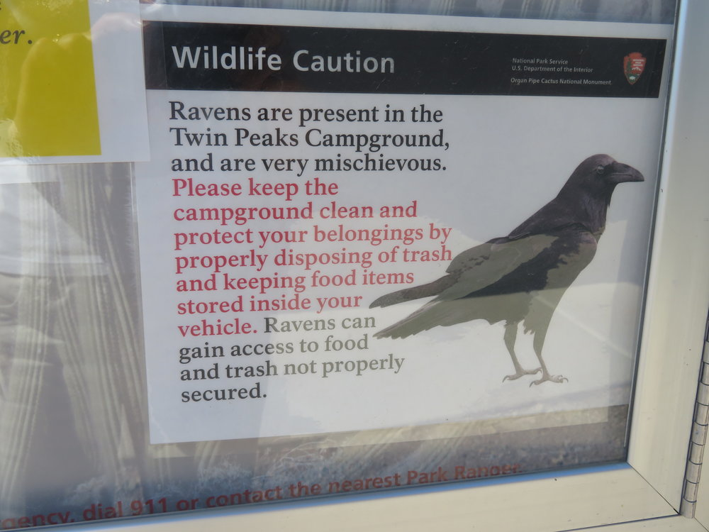 Rascally ravens