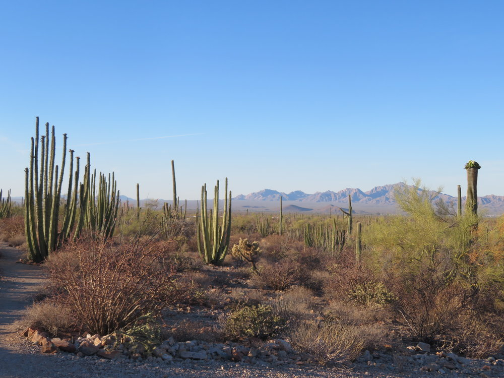 Early evening vista along the Desert View Trail. Lots of organ pipe cactus in view.