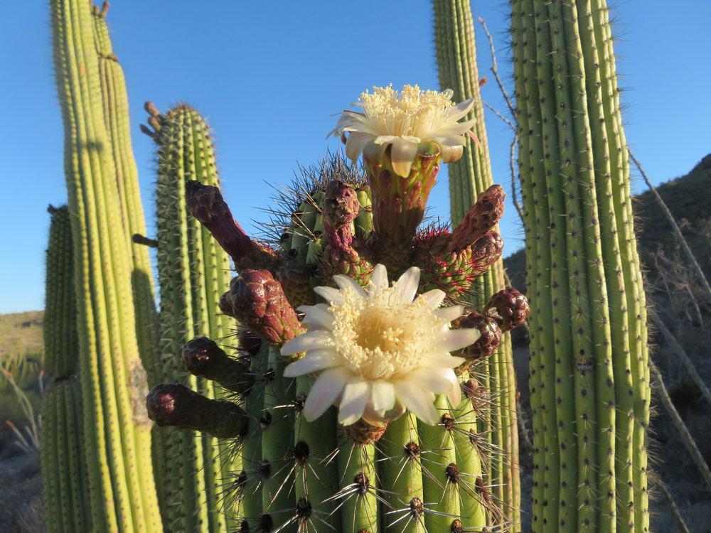 The monument's namesake ... the organ pipe cactus in bloom.