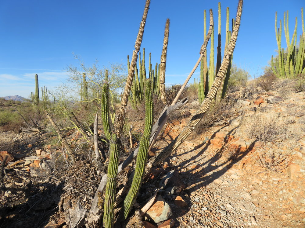 Organ pipe cactus along the park's Ajo Mountain Drive