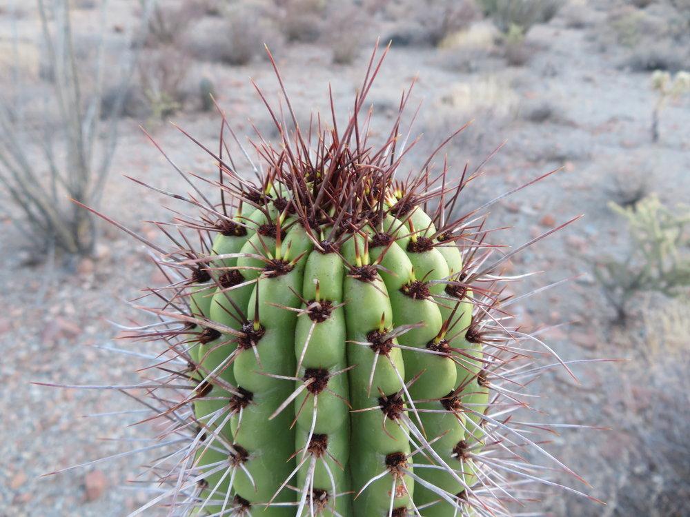 Close-up organ pipe cactus