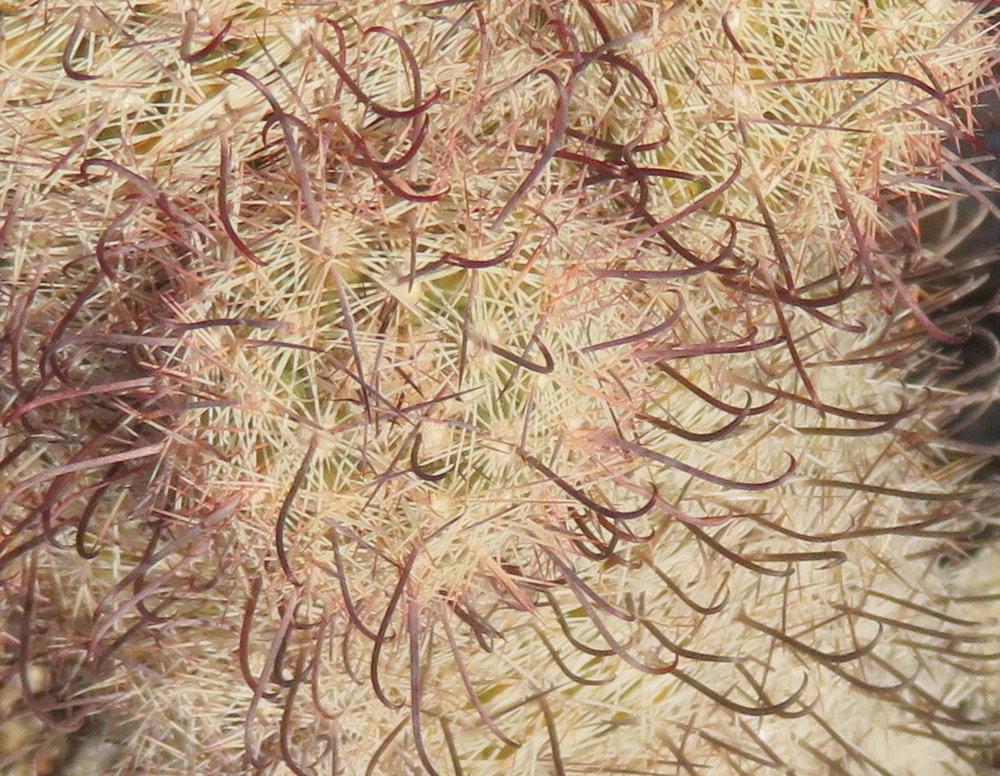 Pincushion fishhook cactus