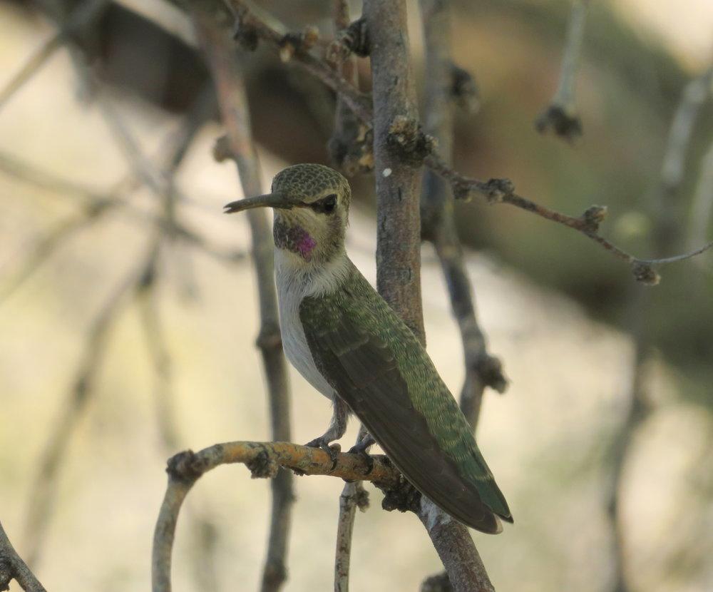 Black-chinned hummingbird? We weren't quite sure.