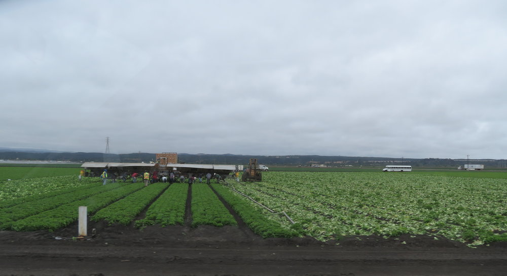 lettuce pickers.JPG