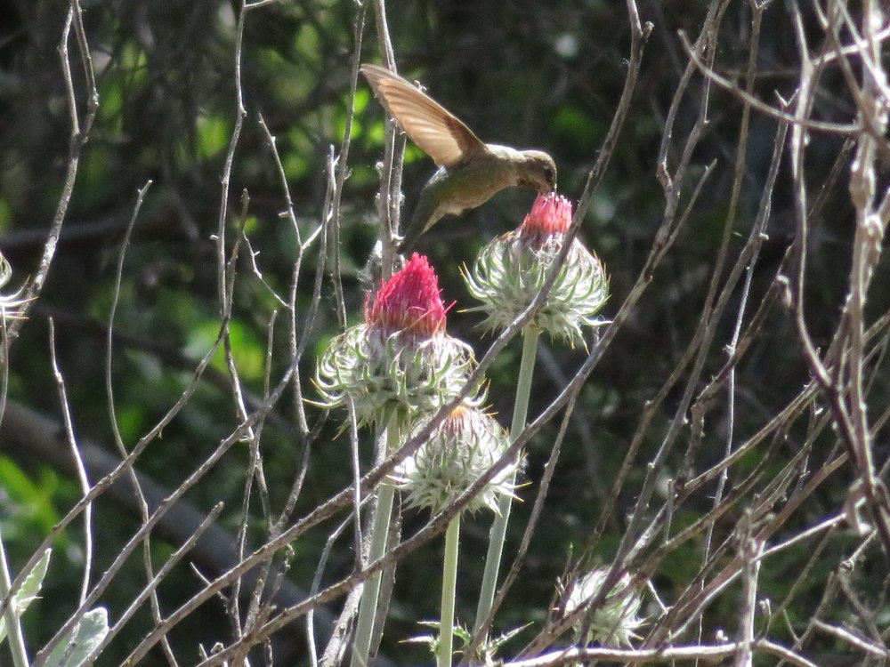 A hummingbird enjoys a Venus thistle for a morning snack.
