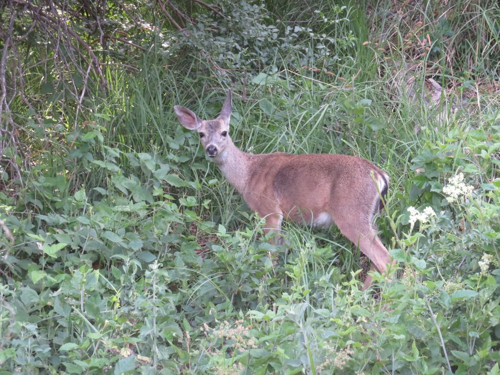 A black-tailed deer browses along our path.