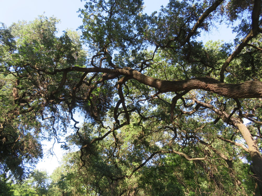 A canopy of majestic valley oak provided shade along the network of park trails.
