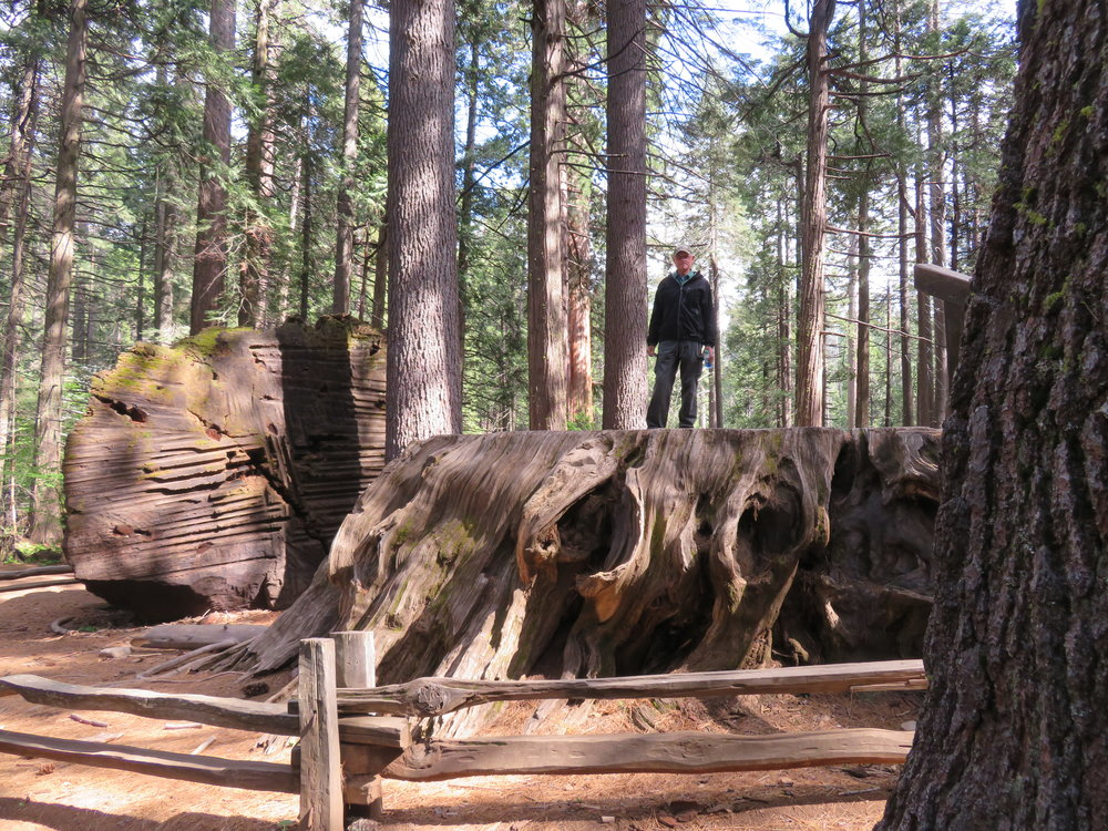 calaveras_ big stump - the discovery tree.JPG