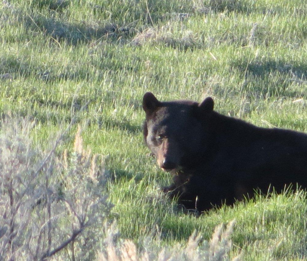 beware__black_bear1.jpg