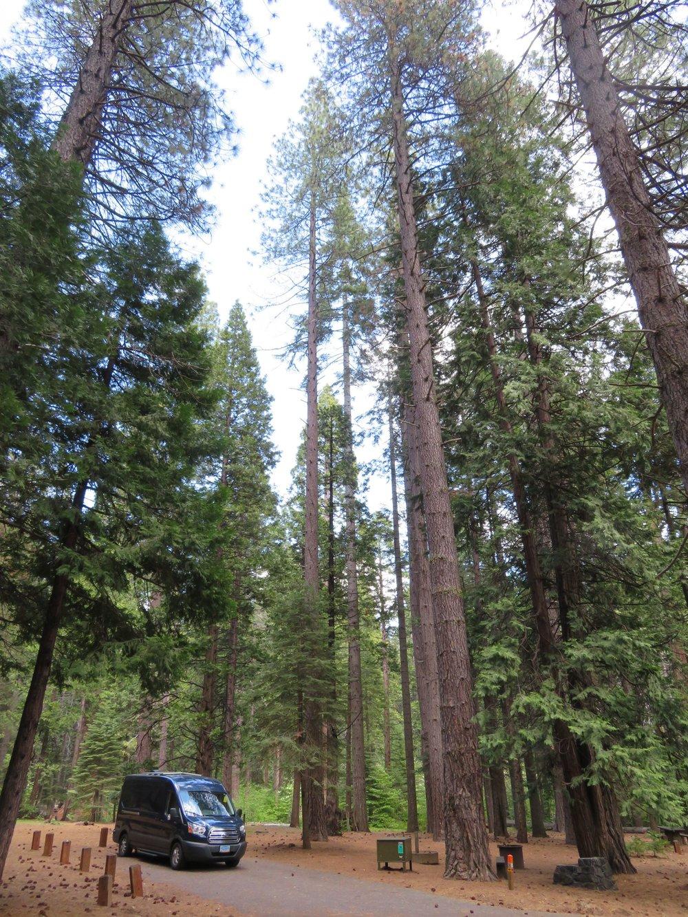 Big trees, little Blue!