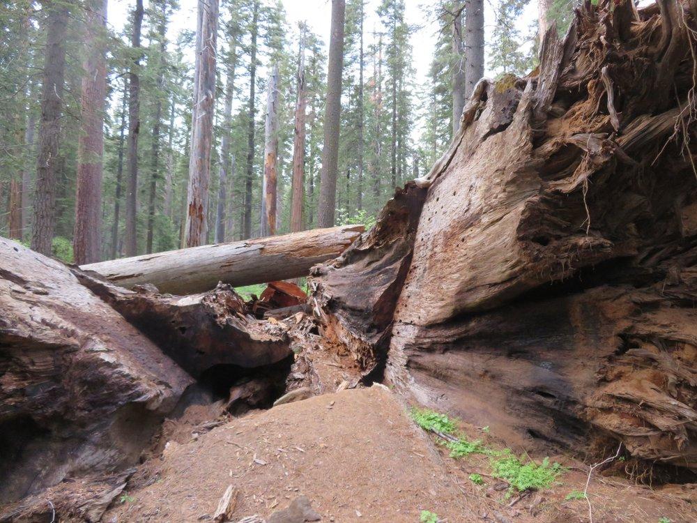 Camping-giants_pioneer cabin tree.jpg