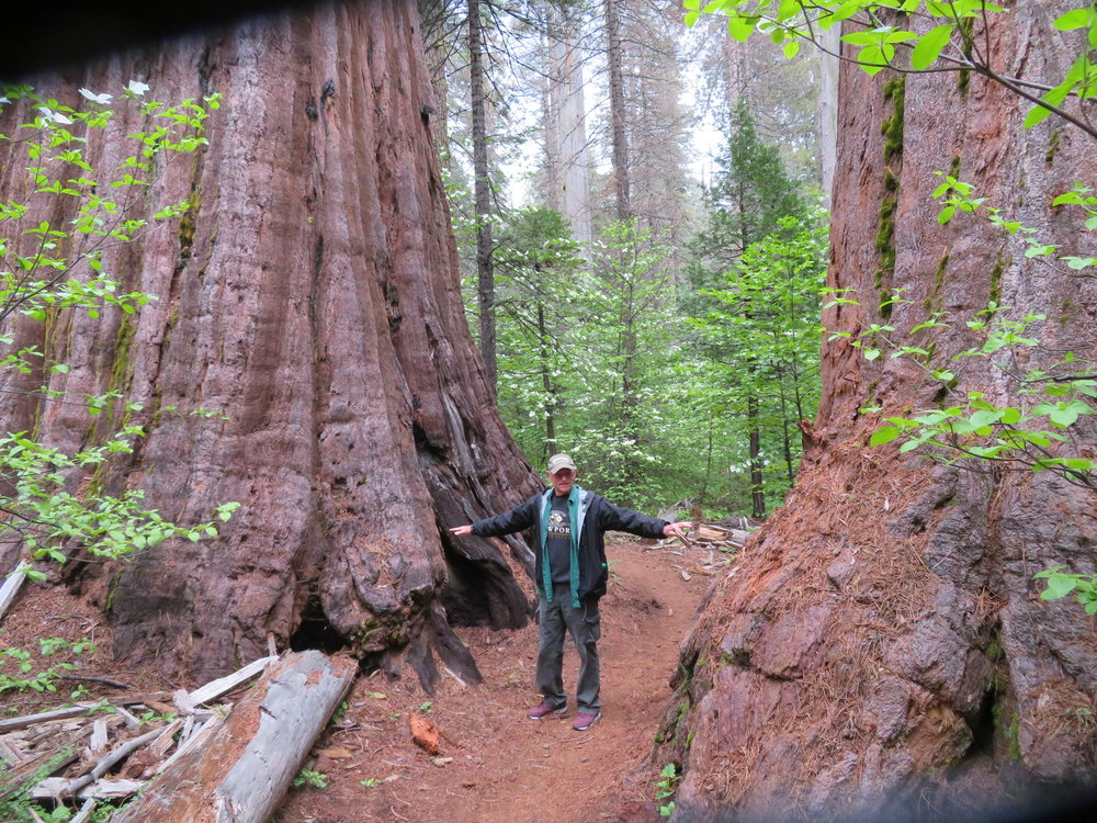 The South Grove has over 1,000 giant Sequoias.