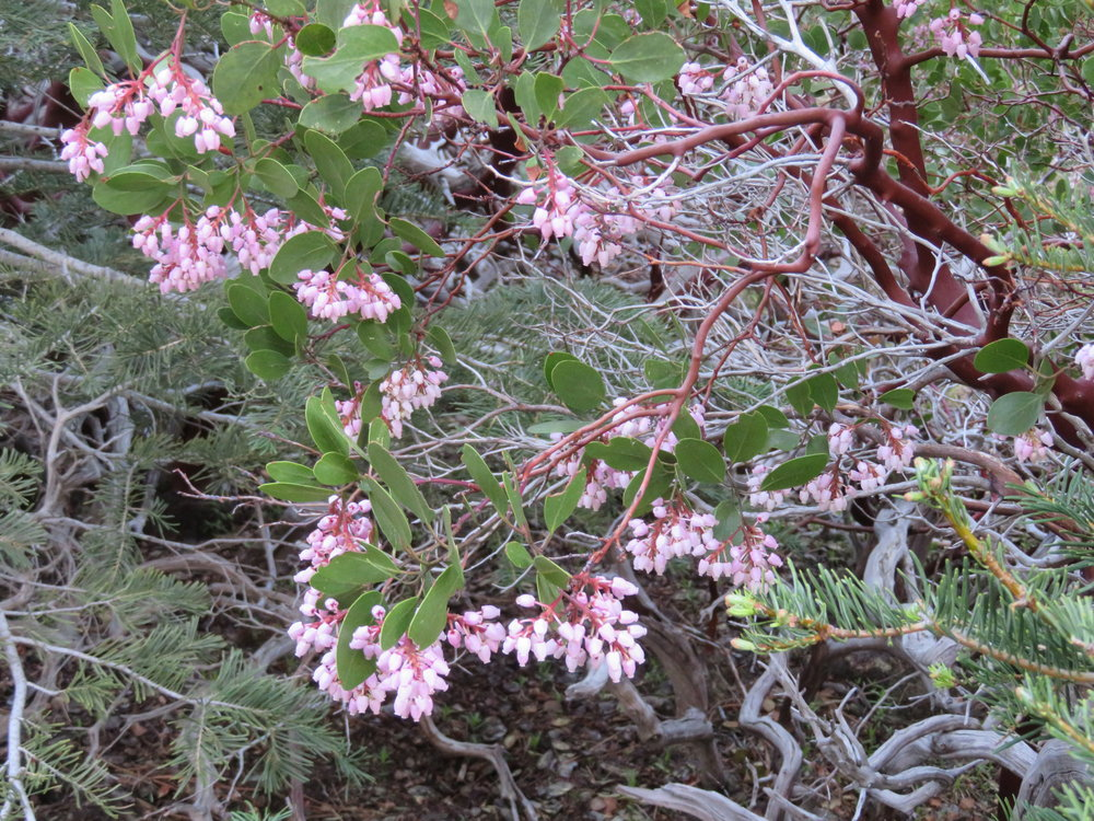 Manzanita, after which the lake and campground are named, was in bloom and all around our campsite.