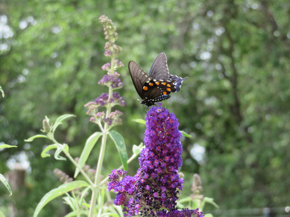 A spicebush swallowtail on a Chinese lilac