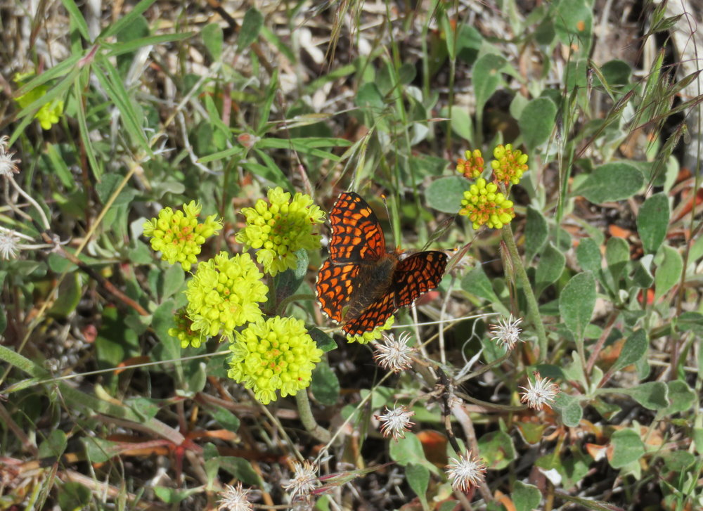 Edith's checkerspot on yellow buckwheat.