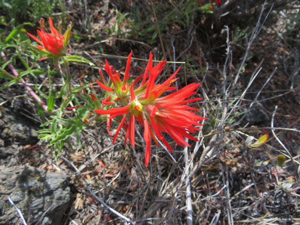 Indian paintbrush - brilliant scarlet!