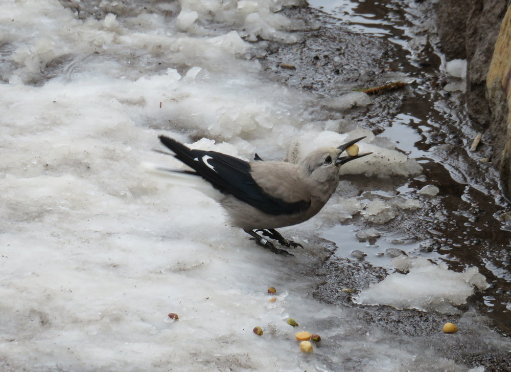A Clark's nutcracker had found a treasure in the snow and was wrestling it back to its nest.