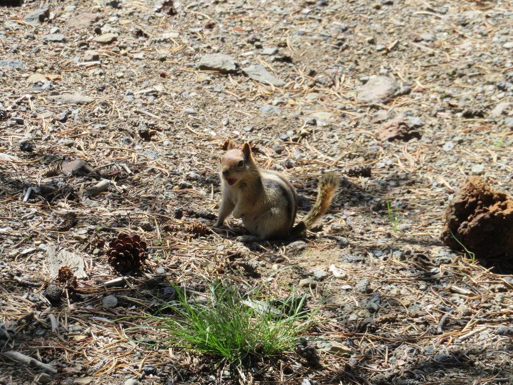 newberry_ground squirrel-hey.JPG