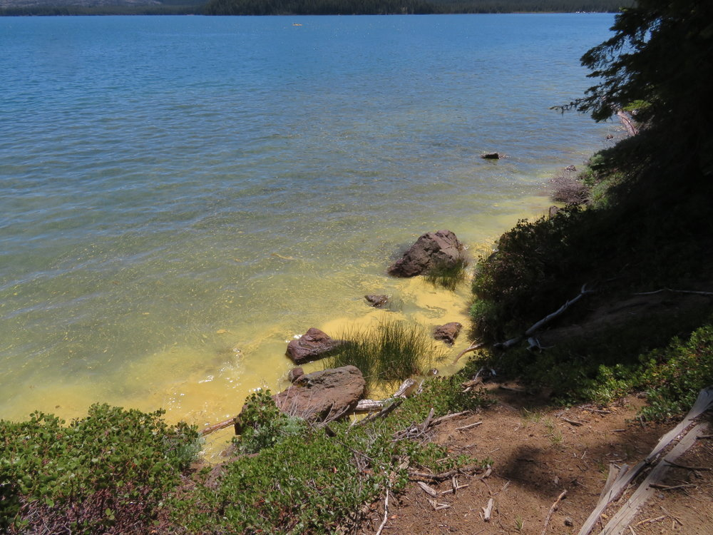 Thick yellow pollen coated the lake's surface near the shore.