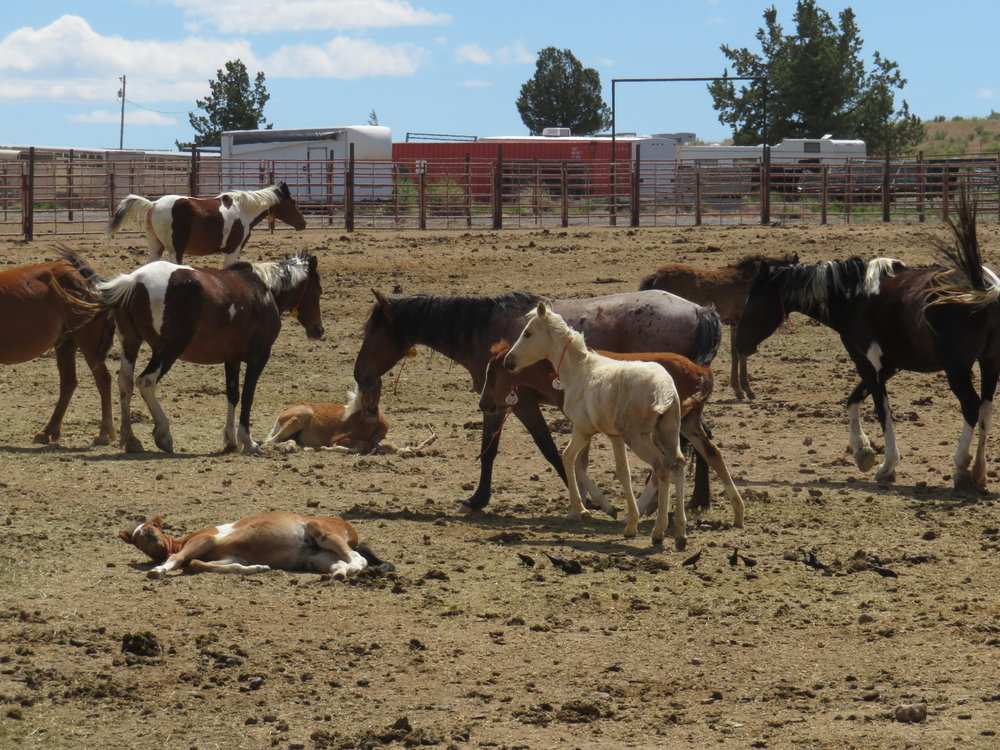 BLM corral mares colts.JPG