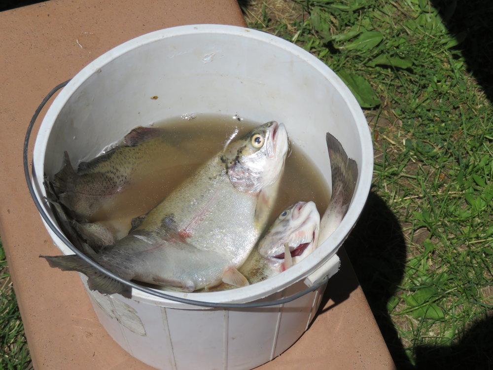 steens_pail o trout.JPG
