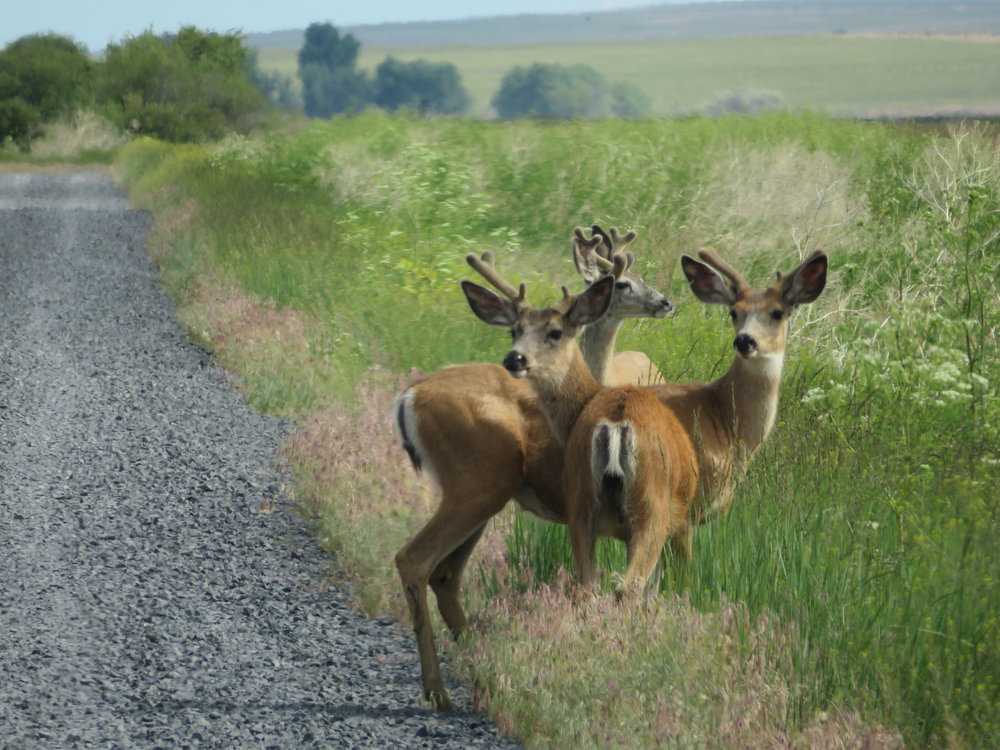 Malheur Wildlife Refuge - Three bachelors out for a morning browse.