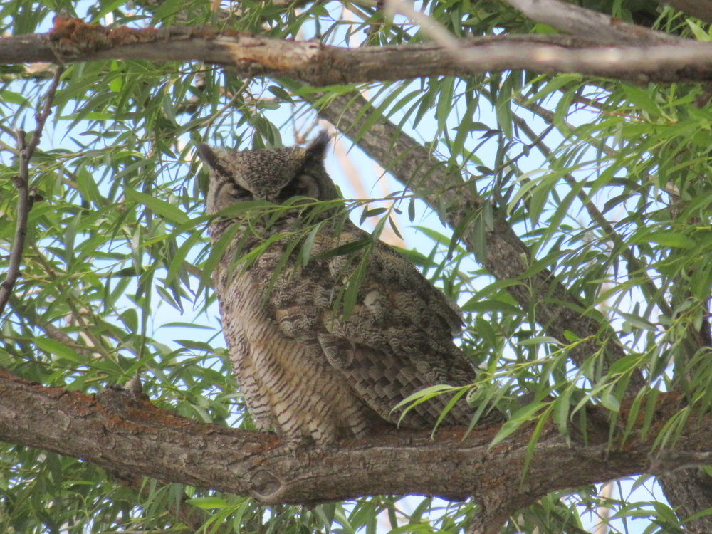 Move those leaves, please!   Great horned owl