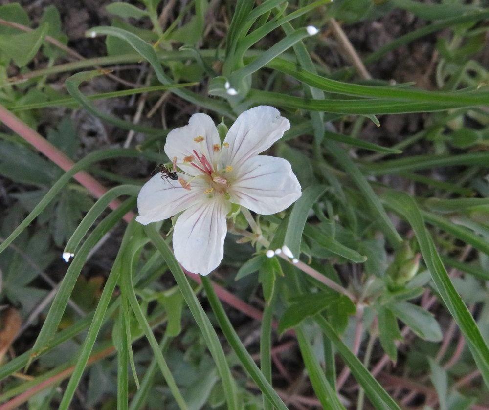 Richardson's geranium