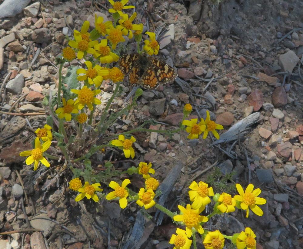 Angelita daisy