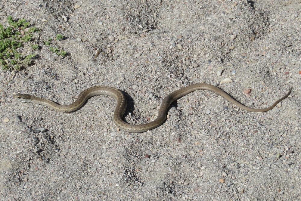 ward_snake.JPG