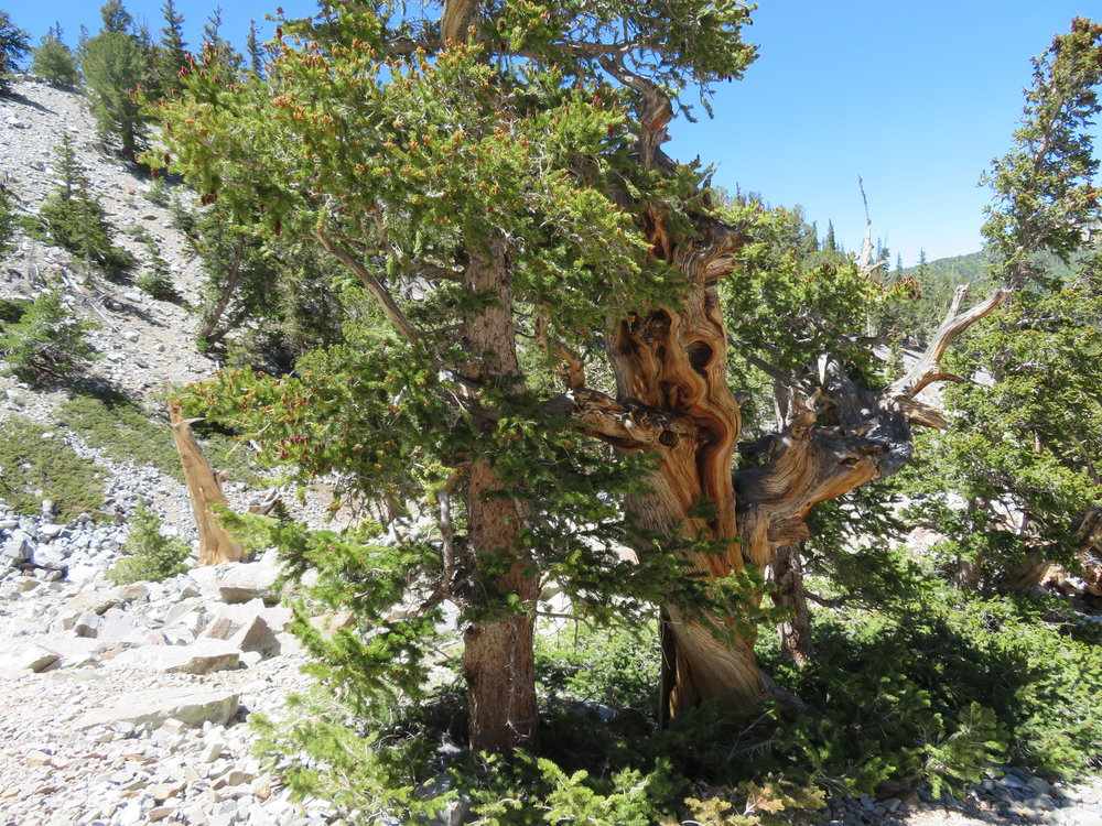 Bristlecone pine - oldest living thing on the planet