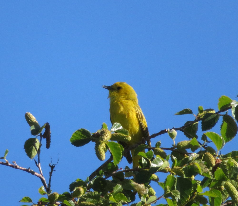 A yellow warbler kept us company with his sweet song, but rarely made an appearance.