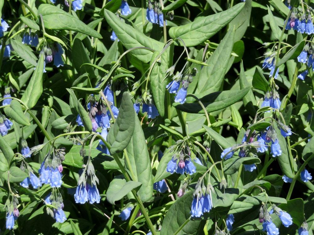 cedar-breaks_aspen bluebells1.JPG